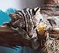 """В Ярославском зоопарке """"денежному коту"""" привезли подругу!"""